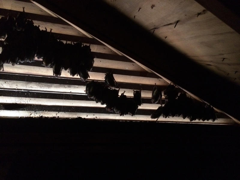 Bats in Attic Sillhouted Inside Gable