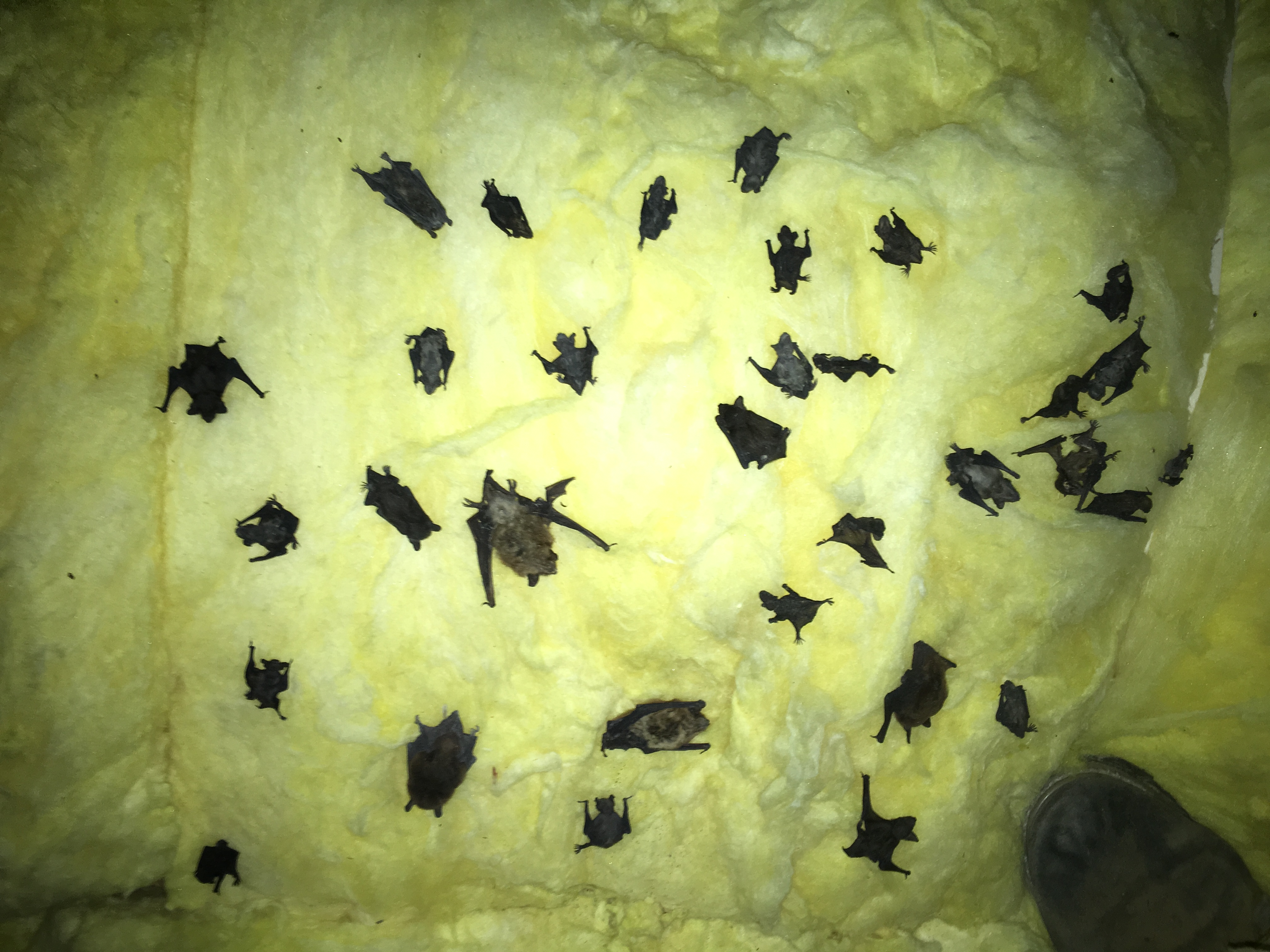 Bats on Attic Insulation