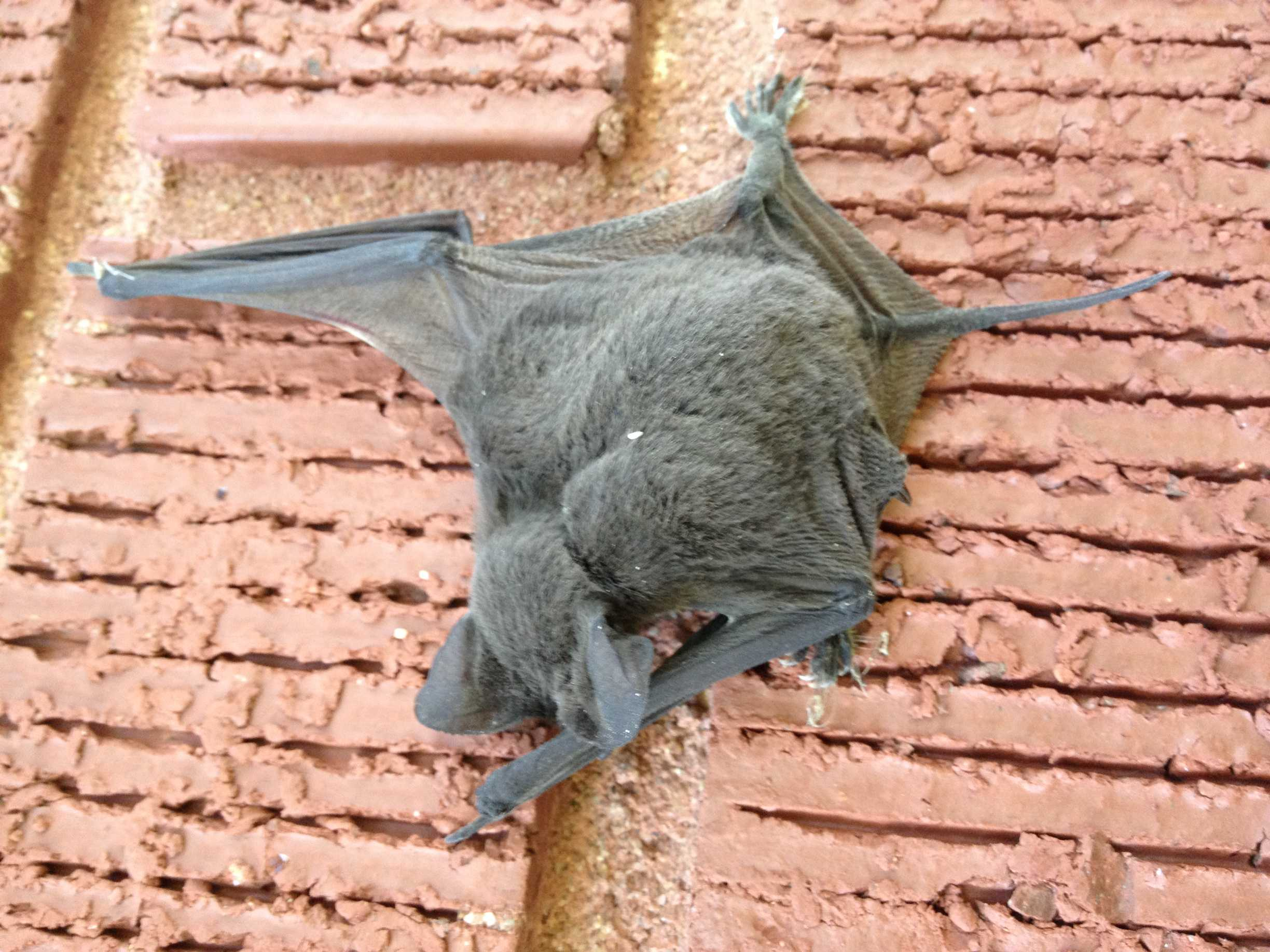 Getting Rid of Bats Clinging to Brick