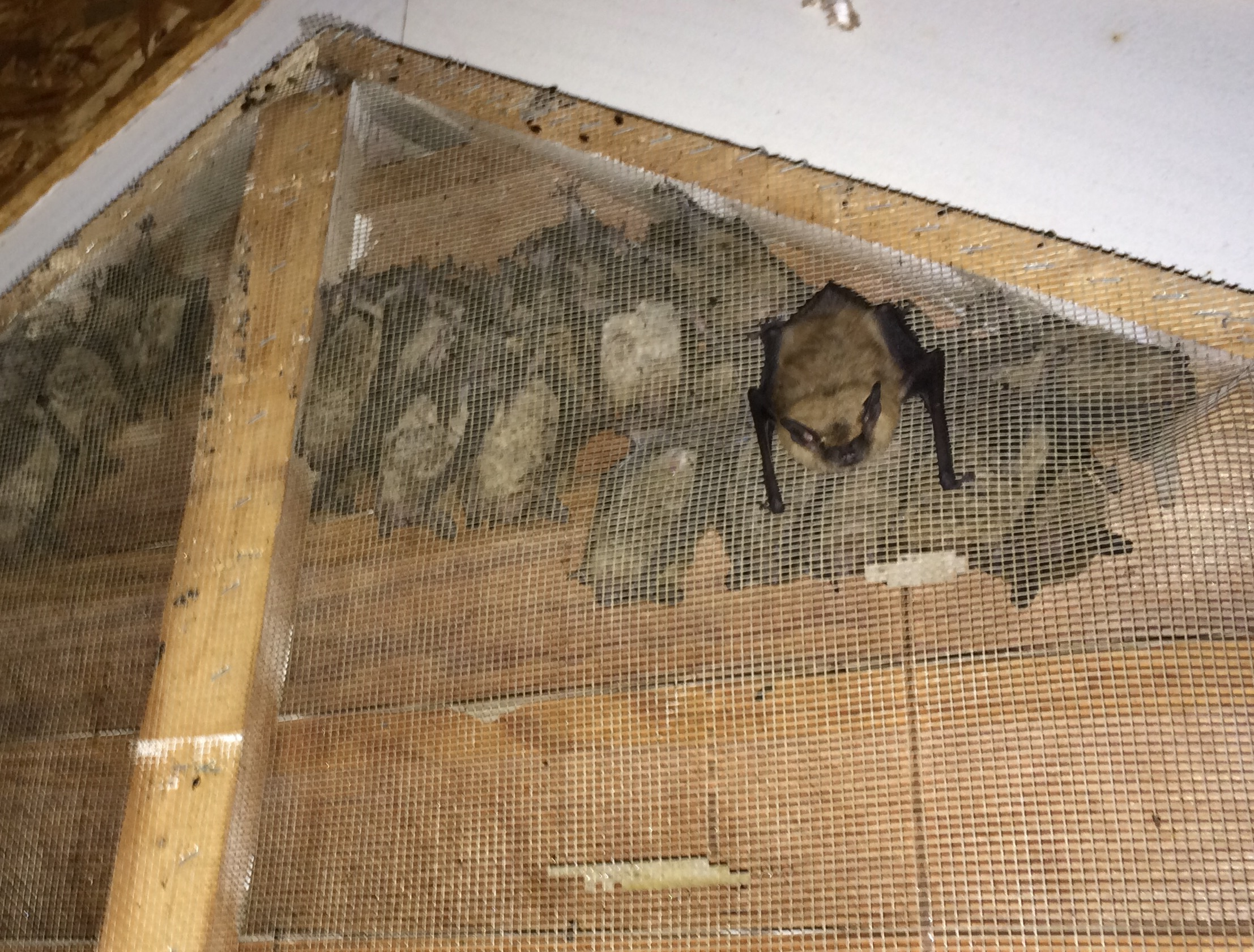 Bat Inside Gable Meshing