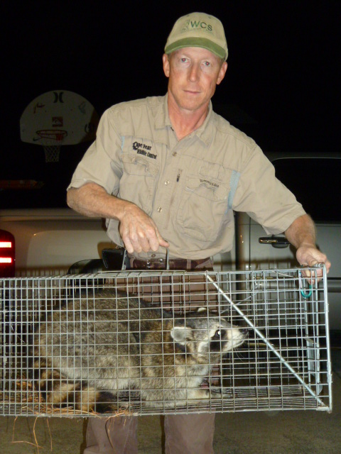Raccoon Removal with Trap