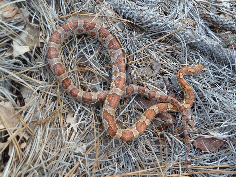 Cornsnake in Yard on Pinestraw