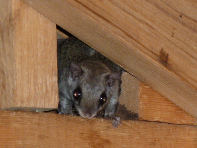 Flying Squirrel in an Attic